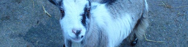 Emily the goat