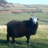 Young Herdwick sheep
